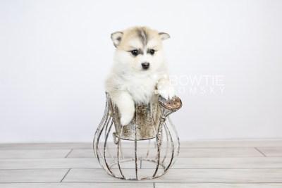 puppy125 week5 BowTiePomsky.com Bowtie Pomsky Puppy For Sale Husky Pomeranian Mini Dog Spokane WA Breeder Blue Eyes Pomskies Celebrity Puppy web with logo2