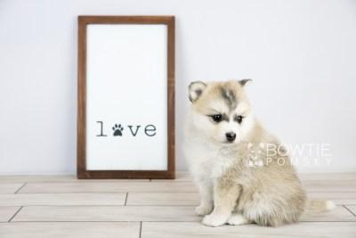 puppy125 week5 BowTiePomsky.com Bowtie Pomsky Puppy For Sale Husky Pomeranian Mini Dog Spokane WA Breeder Blue Eyes Pomskies Celebrity Puppy web with logo4