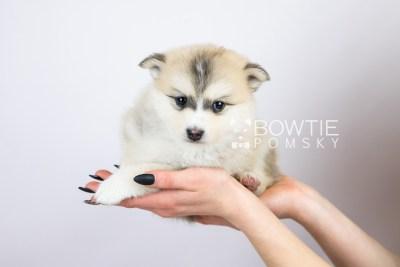 puppy125 week5 BowTiePomsky.com Bowtie Pomsky Puppy For Sale Husky Pomeranian Mini Dog Spokane WA Breeder Blue Eyes Pomskies Celebrity Puppy web with logo6