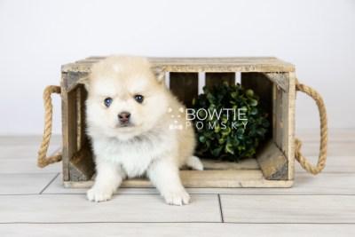 puppy126 week5 BowTiePomsky.com Bowtie Pomsky Puppy For Sale Husky Pomeranian Mini Dog Spokane WA Breeder Blue Eyes Pomskies Celebrity Puppy web with logo1