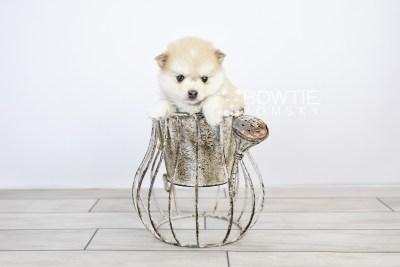 puppy126 week5 BowTiePomsky.com Bowtie Pomsky Puppy For Sale Husky Pomeranian Mini Dog Spokane WA Breeder Blue Eyes Pomskies Celebrity Puppy web with logo2