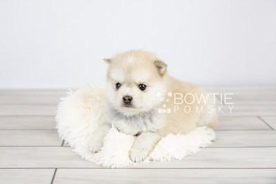 puppy126 week5 BowTiePomsky.com Bowtie Pomsky Puppy For Sale Husky Pomeranian Mini Dog Spokane WA Breeder Blue Eyes Pomskies Celebrity Puppy web with logo5