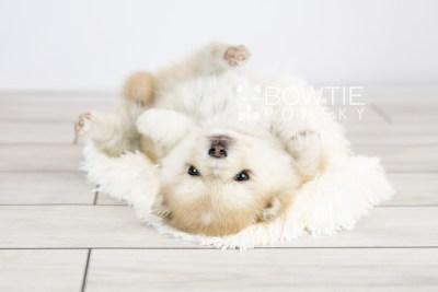 puppy126 week5 BowTiePomsky.com Bowtie Pomsky Puppy For Sale Husky Pomeranian Mini Dog Spokane WA Breeder Blue Eyes Pomskies Celebrity Puppy web with logo6