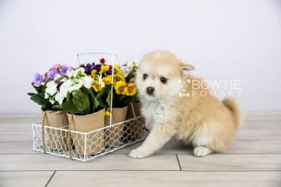 puppy126 week7 BowTiePomsky.com Bowtie Pomsky Puppy For Sale Husky Pomeranian Mini Dog Spokane WA Breeder Blue Eyes Pomskies Celebrity Puppy web with logo1