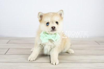 puppy126 week7 BowTiePomsky.com Bowtie Pomsky Puppy For Sale Husky Pomeranian Mini Dog Spokane WA Breeder Blue Eyes Pomskies Celebrity Puppy web with logo3