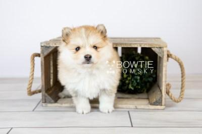 puppy127 week5 BowTiePomsky.com Bowtie Pomsky Puppy For Sale Husky Pomeranian Mini Dog Spokane WA Breeder Blue Eyes Pomskies Celebrity Puppy web with logo1