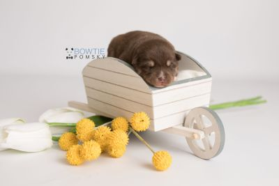 puppy129 week1 BowTiePomsky.com Bowtie Pomsky Puppy For Sale Husky Pomeranian Mini Dog Spokane WA Breeder Blue Eyes Pomskies Celebrity Puppy web-logo2