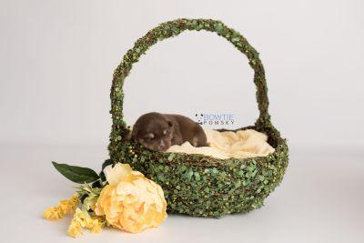 puppy129 week1 BowTiePomsky.com Bowtie Pomsky Puppy For Sale Husky Pomeranian Mini Dog Spokane WA Breeder Blue Eyes Pomskies Celebrity Puppy web-logo4
