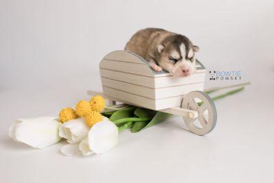 puppy130 week1 BowTiePomsky.com Bowtie Pomsky Puppy For Sale Husky Pomeranian Mini Dog Spokane WA Breeder Blue Eyes Pomskies Celebrity Puppy web-logo2