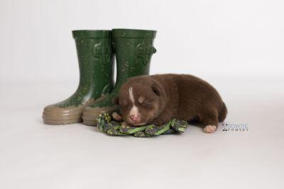 puppy131 week1 BowTiePomsky.com Bowtie Pomsky Puppy For Sale Husky Pomeranian Mini Dog Spokane WA Breeder Blue Eyes Pomskies Celebrity Puppy web-logo3
