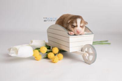 puppy132 week1 BowTiePomsky.com Bowtie Pomsky Puppy For Sale Husky Pomeranian Mini Dog Spokane WA Breeder Blue Eyes Pomskies Celebrity Puppy web-logo2