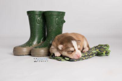 puppy132 week1 BowTiePomsky.com Bowtie Pomsky Puppy For Sale Husky Pomeranian Mini Dog Spokane WA Breeder Blue Eyes Pomskies Celebrity Puppy web-logo3