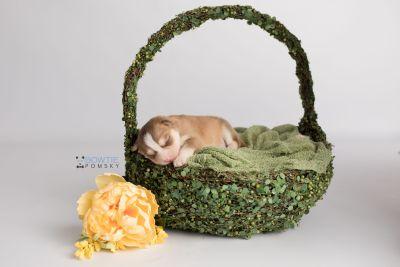puppy132 week1 BowTiePomsky.com Bowtie Pomsky Puppy For Sale Husky Pomeranian Mini Dog Spokane WA Breeder Blue Eyes Pomskies Celebrity Puppy web-logo4