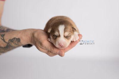 puppy132 week1 BowTiePomsky.com Bowtie Pomsky Puppy For Sale Husky Pomeranian Mini Dog Spokane WA Breeder Blue Eyes Pomskies Celebrity Puppy web-logo8
