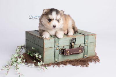 puppy128 week3 BowTiePomsky.com Bowtie Pomsky Puppy For Sale Husky Pomeranian Mini Dog Spokane WA Breeder Blue Eyes Pomskies Celebrity Puppy web1