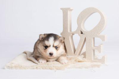 puppy128 week3 BowTiePomsky.com Bowtie Pomsky Puppy For Sale Husky Pomeranian Mini Dog Spokane WA Breeder Blue Eyes Pomskies Celebrity Puppy web3