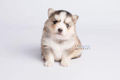 puppy128 week3 BowTiePomsky.com Bowtie Pomsky Puppy For Sale Husky Pomeranian Mini Dog Spokane WA Breeder Blue Eyes Pomskies Celebrity Puppy web7