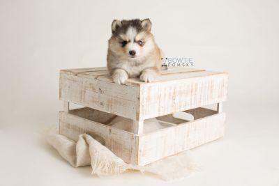 puppy128 week5 BowTiePomsky.com Bowtie Pomsky Puppy For Sale Husky Pomeranian Mini Dog Spokane WA Breeder Blue Eyes Pomskies Celebrity Puppy web-logo2