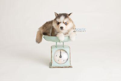 puppy128 week5 BowTiePomsky.com Bowtie Pomsky Puppy For Sale Husky Pomeranian Mini Dog Spokane WA Breeder Blue Eyes Pomskies Celebrity Puppy web-logo3