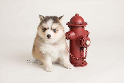 puppy128 week5 BowTiePomsky.com Bowtie Pomsky Puppy For Sale Husky Pomeranian Mini Dog Spokane WA Breeder Blue Eyes Pomskies Celebrity Puppy web-logo6