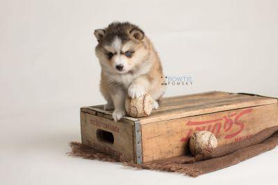 puppy128 week5 BowTiePomsky.com Bowtie Pomsky Puppy For Sale Husky Pomeranian Mini Dog Spokane WA Breeder Blue Eyes Pomskies Celebrity Puppy web-logo7