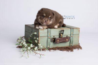 puppy129 week3 BowTiePomsky.com Bowtie Pomsky Puppy For Sale Husky Pomeranian Mini Dog Spokane WA Breeder Blue Eyes Pomskies Celebrity Puppy web2
