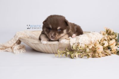 puppy129 week3 BowTiePomsky.com Bowtie Pomsky Puppy For Sale Husky Pomeranian Mini Dog Spokane WA Breeder Blue Eyes Pomskies Celebrity Puppy web3