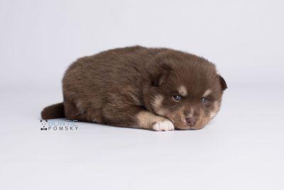 puppy129 week3 BowTiePomsky.com Bowtie Pomsky Puppy For Sale Husky Pomeranian Mini Dog Spokane WA Breeder Blue Eyes Pomskies Celebrity Puppy web6