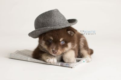 puppy129 week5 BowTiePomsky.com Bowtie Pomsky Puppy For Sale Husky Pomeranian Mini Dog Spokane WA Breeder Blue Eyes Pomskies Celebrity Puppy web-logo3