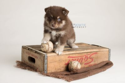 puppy129 week5 BowTiePomsky.com Bowtie Pomsky Puppy For Sale Husky Pomeranian Mini Dog Spokane WA Breeder Blue Eyes Pomskies Celebrity Puppy web-logo6