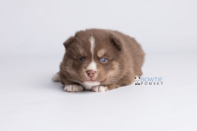 puppy131 week3 BowTiePomsky.com Bowtie Pomsky Puppy For Sale Husky Pomeranian Mini Dog Spokane WA Breeder Blue Eyes Pomskies Celebrity Puppy web6