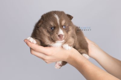 puppy131 week3 BowTiePomsky.com Bowtie Pomsky Puppy For Sale Husky Pomeranian Mini Dog Spokane WA Breeder Blue Eyes Pomskies Celebrity Puppy web7