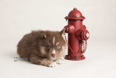 puppy131 week5 BowTiePomsky.com Bowtie Pomsky Puppy For Sale Husky Pomeranian Mini Dog Spokane WA Breeder Blue Eyes Pomskies Celebrity Puppy web-logo5