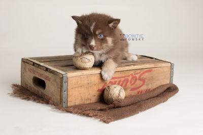 puppy131 week5 BowTiePomsky.com Bowtie Pomsky Puppy For Sale Husky Pomeranian Mini Dog Spokane WA Breeder Blue Eyes Pomskies Celebrity Puppy web-logo6