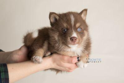puppy131 week5 BowTiePomsky.com Bowtie Pomsky Puppy For Sale Husky Pomeranian Mini Dog Spokane WA Breeder Blue Eyes Pomskies Celebrity Puppy web-logo8