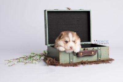 puppy132 week3 BowTiePomsky.com Bowtie Pomsky Puppy For Sale Husky Pomeranian Mini Dog Spokane WA Breeder Blue Eyes Pomskies Celebrity Puppy web1