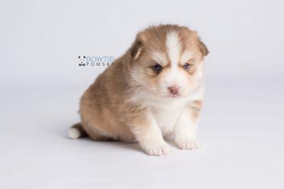puppy132 week3 BowTiePomsky.com Bowtie Pomsky Puppy For Sale Husky Pomeranian Mini Dog Spokane WA Breeder Blue Eyes Pomskies Celebrity Puppy web6
