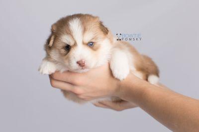 puppy132 week3 BowTiePomsky.com Bowtie Pomsky Puppy For Sale Husky Pomeranian Mini Dog Spokane WA Breeder Blue Eyes Pomskies Celebrity Puppy web7