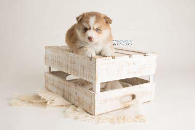 puppy132 week5 BowTiePomsky.com Bowtie Pomsky Puppy For Sale Husky Pomeranian Mini Dog Spokane WA Breeder Blue Eyes Pomskies Celebrity Puppy web-logo1