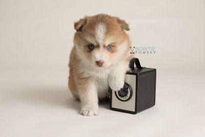 puppy132 week5 BowTiePomsky.com Bowtie Pomsky Puppy For Sale Husky Pomeranian Mini Dog Spokane WA Breeder Blue Eyes Pomskies Celebrity Puppy web-logo4