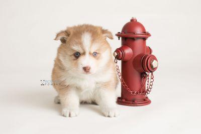 puppy132 week5 BowTiePomsky.com Bowtie Pomsky Puppy For Sale Husky Pomeranian Mini Dog Spokane WA Breeder Blue Eyes Pomskies Celebrity Puppy web-logo5