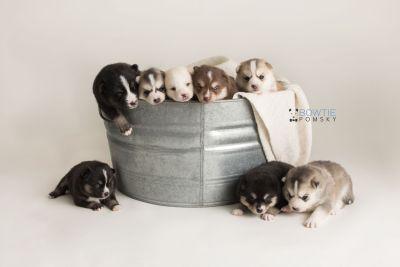 puppy133-140 week3 BowTiePomsky.com Bowtie Pomsky Puppy For Sale Husky Pomeranian Mini Dog Spokane WA Breeder Blue Eyes Pomskies Celebrity Puppy web-logo1