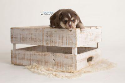 puppy134 week3 BowTiePomsky.com Bowtie Pomsky Puppy For Sale Husky Pomeranian Mini Dog Spokane WA Breeder Blue Eyes Pomskies Celebrity Puppy web-logo2