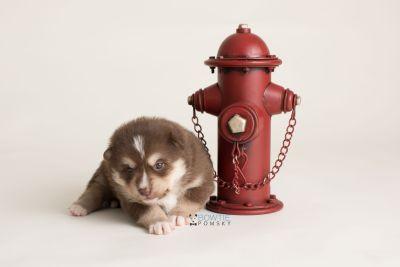 puppy134 week3 BowTiePomsky.com Bowtie Pomsky Puppy For Sale Husky Pomeranian Mini Dog Spokane WA Breeder Blue Eyes Pomskies Celebrity Puppy web-logo3