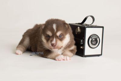 puppy134 week3 BowTiePomsky.com Bowtie Pomsky Puppy For Sale Husky Pomeranian Mini Dog Spokane WA Breeder Blue Eyes Pomskies Celebrity Puppy web-logo4