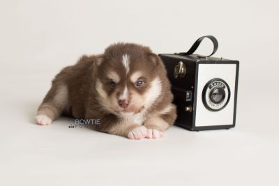 puppy134 week3 BowTiePomsky.com Bowtie Pomsky Puppy For Sale Husky Pomeranian Mini Dog Spokane WA Breeder Blue Eyes Pomskies Celebrity Puppy web-logo4