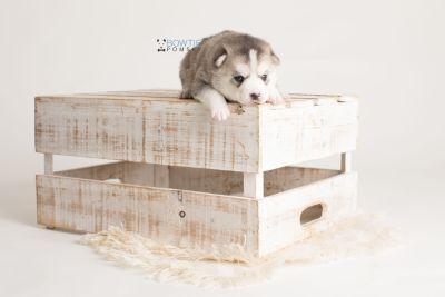 puppy135 week3 BowTiePomsky.com Bowtie Pomsky Puppy For Sale Husky Pomeranian Mini Dog Spokane WA Breeder Blue Eyes Pomskies Celebrity Puppy web-logo2