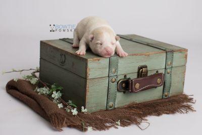 puppy136 week1 BowTiePomsky.com Bowtie Pomsky Puppy For Sale Husky Pomeranian Mini Dog Spokane WA Breeder Blue Eyes Pomskies Celebrity Puppy web4