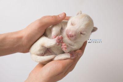puppy136 week1 BowTiePomsky.com Bowtie Pomsky Puppy For Sale Husky Pomeranian Mini Dog Spokane WA Breeder Blue Eyes Pomskies Celebrity Puppy web8