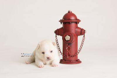 puppy136 week3 BowTiePomsky.com Bowtie Pomsky Puppy For Sale Husky Pomeranian Mini Dog Spokane WA Breeder Blue Eyes Pomskies Celebrity Puppy web-logo3